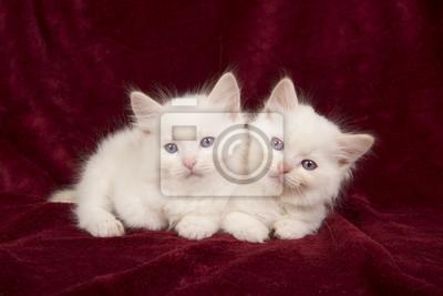 Deux bébés chats ragdoll allongés sur une plaine de velours bordeaux