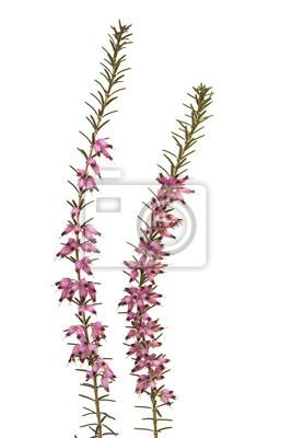Deux branches de bruyère qui fleurit avec des fleurs roses isolés sur fond blanc