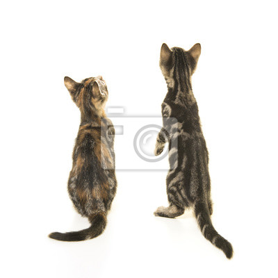 Deux chatons chaton vu sur le dos en levant isolé sur fond blanc
