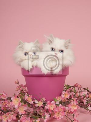 Deux chatons persans blancs aux cheveux bleus dans un pot de fleurs rose sur fond rose