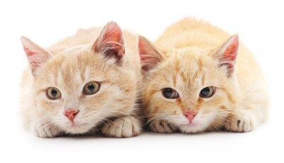 Papiers peints Deux chats rouges.
