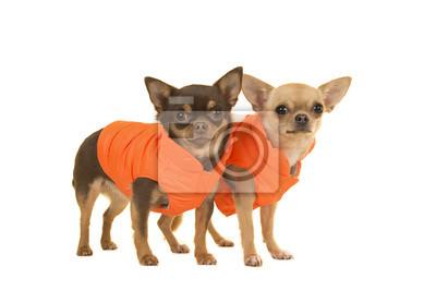 Deux chiens chihuahua debout dans les manteaux orange sur fond blanc