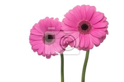 Papiers peints Deux de gerbera rose isolé