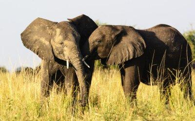 Papiers peints Deux éléphants affectueux