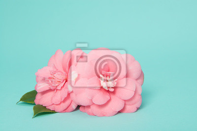 Deux fleurs roses de camélia rose sur fond bleu