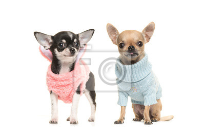 Deux, garçon, chihuahua, chien, chiens, Porter, rose, chandail, porter, bleu, chandail, blanc, fond