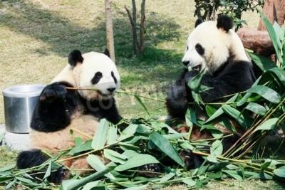 Papiers peints Deux, géant, pandas, manger, bambou
