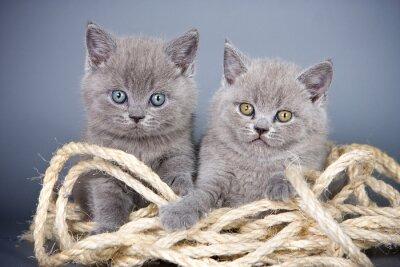 Papiers peints Deux, gris, chaton, britannique, corde, gris, fond