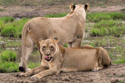 Deux, lionnes, africaine, une, devant, appareil-photo, une, debout