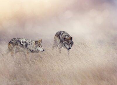 Papiers peints Deux, loups, élevé, herbe
