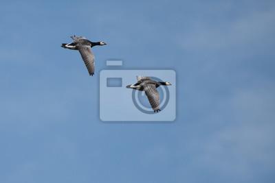 Deux oies canadiennes volant sur un ciel bleu