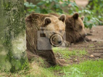 Papiers peints Deux ours bruns dans une forêt