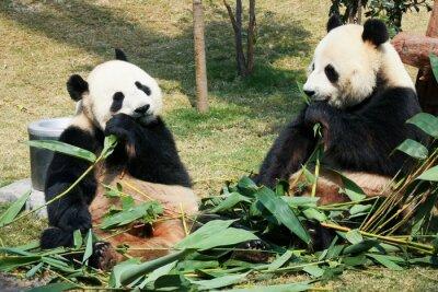 Papiers peints Deux, pandas, manger, bambou