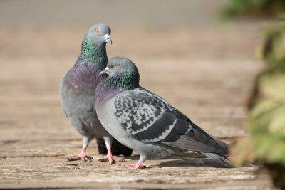 Deux pigeons au soleil agissant comme des tourtereaux sur un chemin