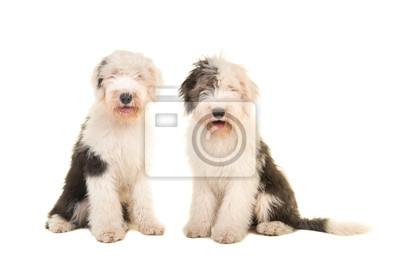 Deux, séance, jeune, adulte, anglaise, mouton, chiens, regarder, appareil-photo, isolé, blanc, fond
