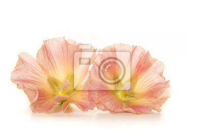 Deux têtes de fleurs de rose trémière se trouvant sur un fond blanc