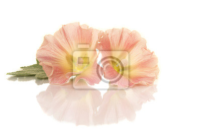 Deux têtes de fleurs de rose trémière se trouvant sur un fond blanc avec reflet