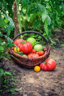 Papiers peints Diverses, tomates, terrestre
