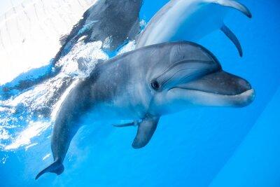 Papiers peints Dolphin nage sous l'eau