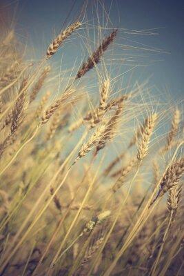 Papiers peints Doré, blé, champ, ensoleillé, jour