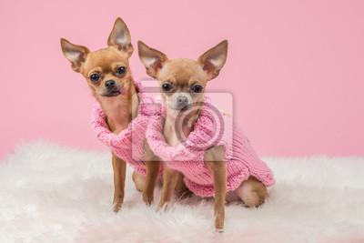 Dressed chiens chihuahua mignons dans chandails roses tricoté et à un fond rose