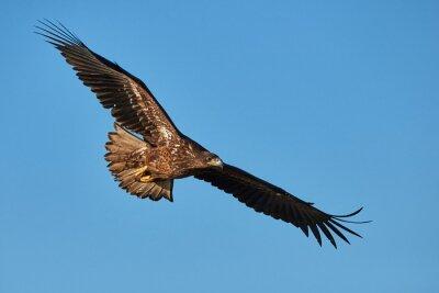 Papiers peints Eagle in flight