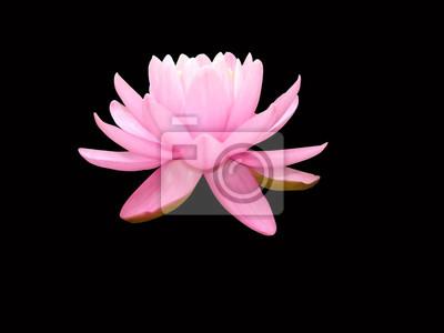 Eau Lis Isole Fond Noir Lotus Fleur Blanc Nature Floral