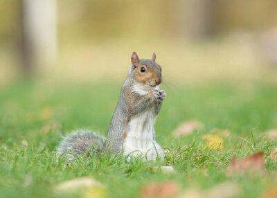 Écureuil gris mignon assis debout manger dans l'herbe avec des arbres sur le fond