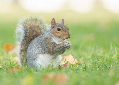 Écureuil gris mignon assis et mangeant dans l'herbe