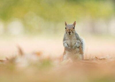 Écureuil gris mignon debout en regardant la caméra entre les feuilles d'automne sur l'herbe