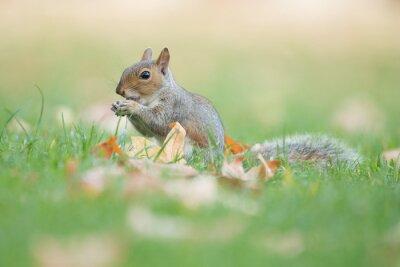 Écureuil gris mignon manger dans l'herbe avec les feuilles de l'automne sur l'herbe