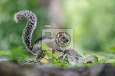 Écureuil panaché vu de côté sur le sol à la recherche de nourriture