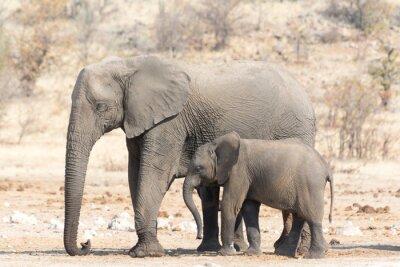 Papiers peints Elephant Cow et Calw en Namibie