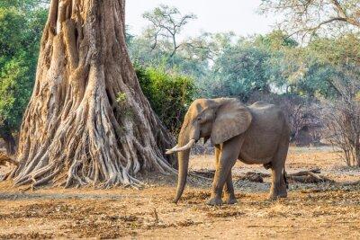 Papiers peints Éléphant d'Afrique (Loxodonta), passant devant un grand arbre