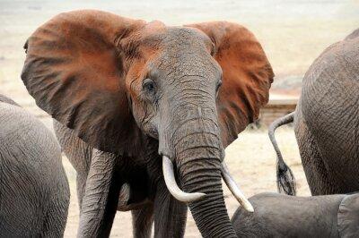 Papiers peints Éléphant dans le parc national du Kenya