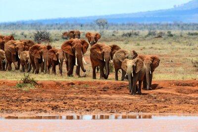 Papiers peints Éléphants africains dans la savane