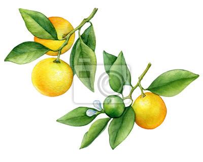 Ensemble d'agrumes rond cumquat (également appelé Marumi ou Morgani kumquat) sur une branche avec des fruits orange et des feuilles vertes. Aquarelle main dessinée illustration de peinture isolée sur