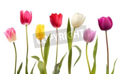 Papiers peints Ensemble de sept fleurs de tulipes de couleur différente isolé sur fond blanc