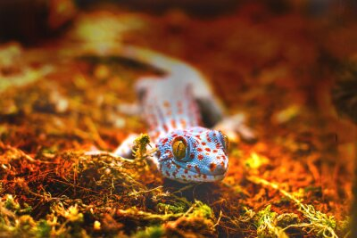 Papiers peints Exotique, animal, tokay, gecko, lézard