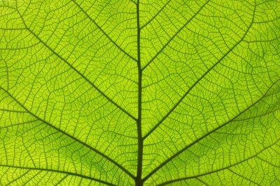 Papiers peints Extreme close up texture de veines de feuilles vertes