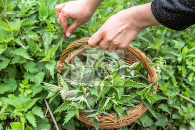 Papiers peints Farmer harvesting nettles. Fresh green herbs harvest. Nettle leaves in the basket. Medicinal plant.