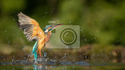 Papiers peints Female Kingfisher emerging from the water after an unsuccessful dive to grab a fish.  Taking photos of these beautiful birds is addicitive now I need to go back again.