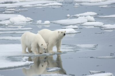 Papiers peints Female Polar Bear with Yearling Cub
