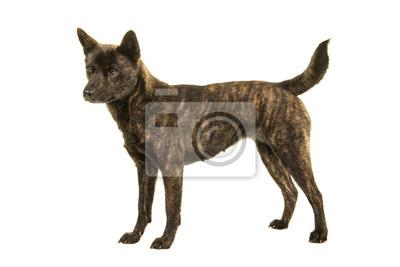 Femelle Kai Ken, chien, race japonaise nationale, debout, vu, côté, isolé, fond blanc