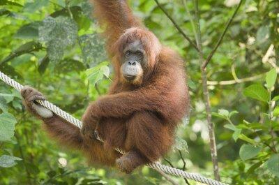 Femme orang-outan suspendue dans un arbre, regardant la caméra