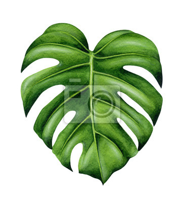 feuille de monstera verte plante tropicale illustration. Black Bedroom Furniture Sets. Home Design Ideas
