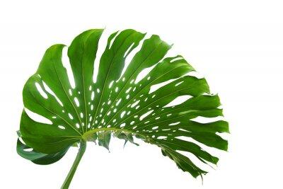 Feuille Verte De Monstera Ou Philodendron De Feuilles Divisees