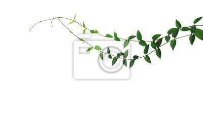 Feuille Verte En Forme De Coeur Sauvage Plante Plante Grimpante
