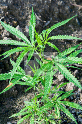 Feuille Verte Plante De Cannabis Indica Ganja Papier Peint