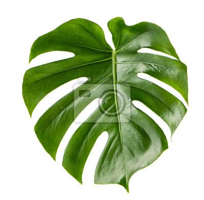 feuille verte plante exotique monstera isol fond blanc papier peint papiers peints monstera. Black Bedroom Furniture Sets. Home Design Ideas